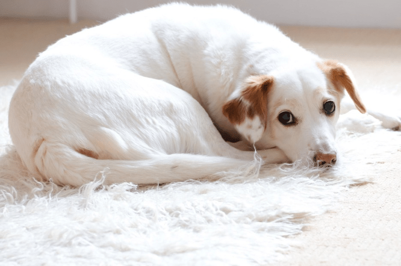 Why Do Dogs Chew Their Beds