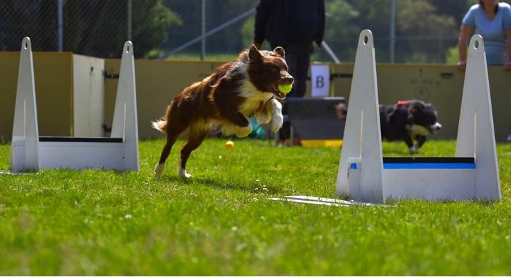 Dog Flyball