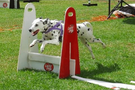Dog Exercise: Flyball Competition