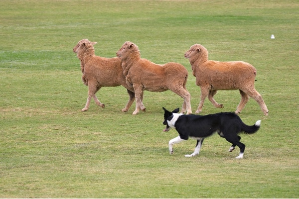 Dog Herding Trials