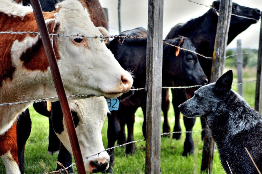 Dog Herding Trials