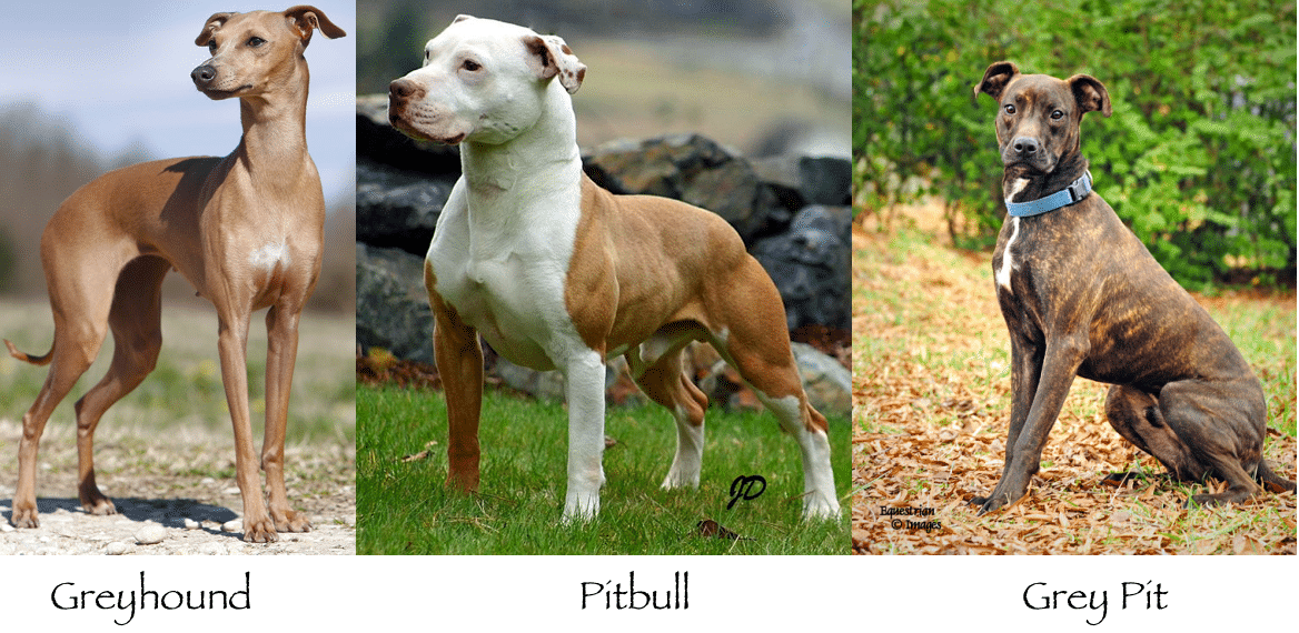 Greyhound Pitbull Mix