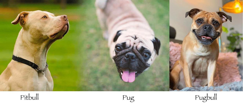 Pug Pitbull Mix