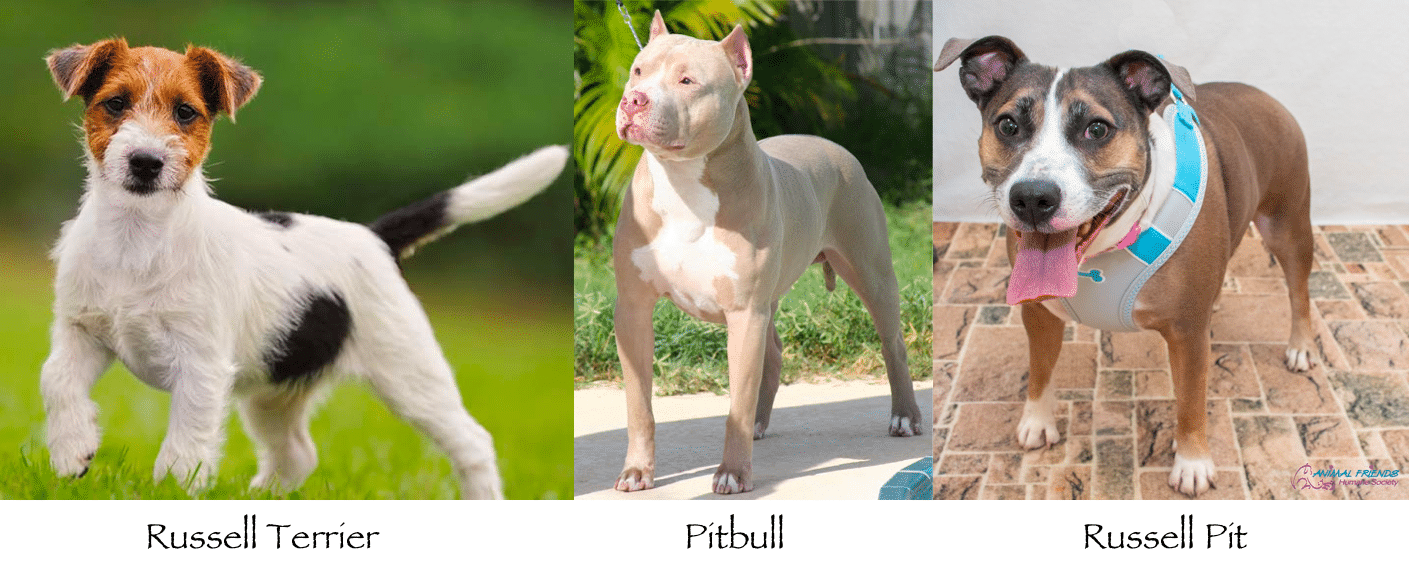Russell Terrier Pitbull Mix