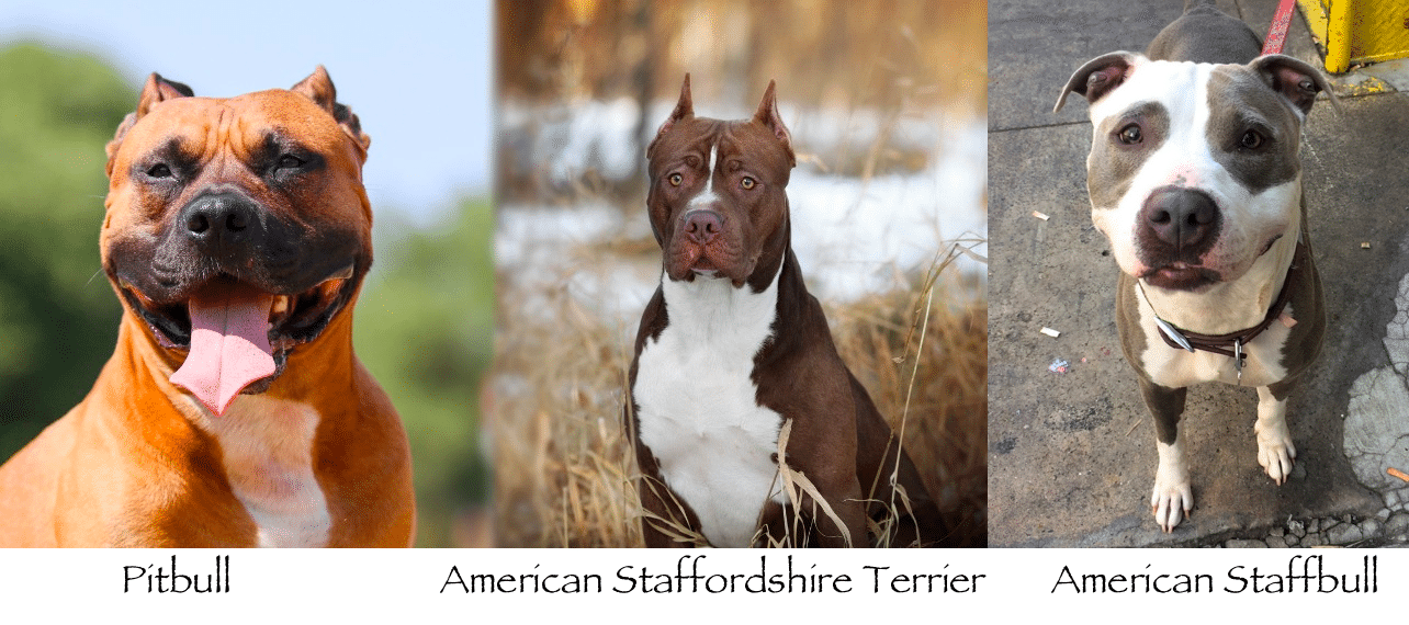 american staffordshire terrier pitbull mix