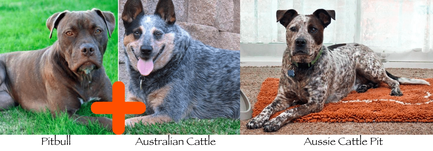 australian cattle dog pitbull mix
