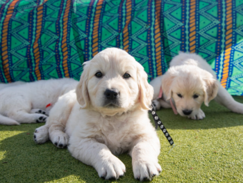 Nicholberry Goldens Puppies in California